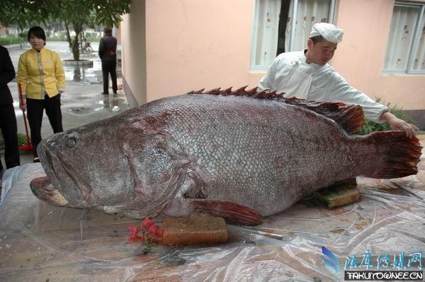 这条巨型石斑鱼是本月7号渔民在南沙群岛附近海域