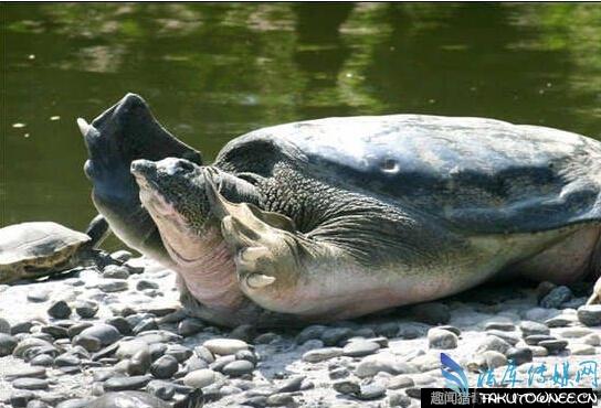 在二千年古墓发现神龟?最长寿的乌龟能活多少岁?